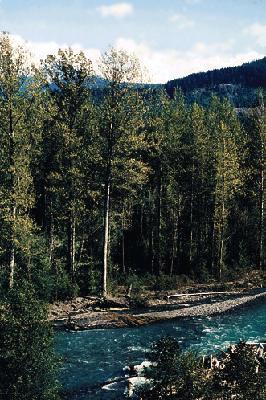 Black cottonwood and Balsam poplar