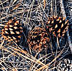 how to get pine seeds in eco